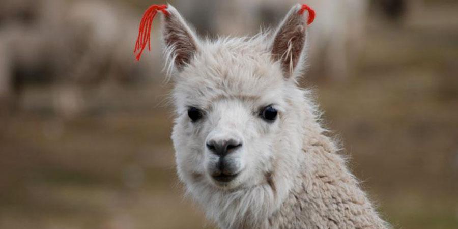 hemiland-alpaca60